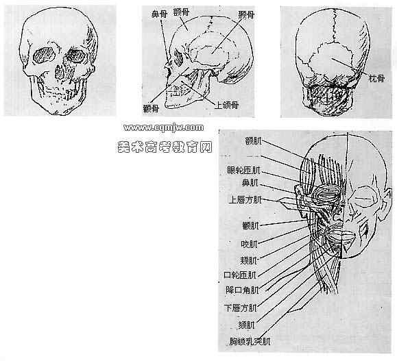 求大型猫科动物肌肉骨骼图!