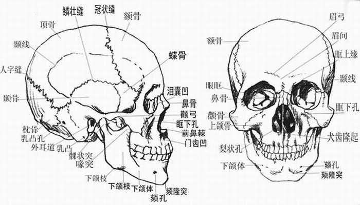 素描头骨画法步骤图