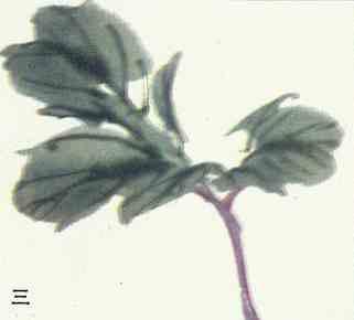 写意(点簇)牡丹花朵及花叶画法步骤